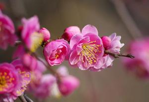 熱海梅園の梅