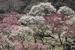 第70回熱海梅園梅祭り